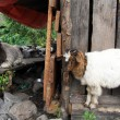 Big goat — Stockfoto