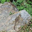 Stock Photo: Two lizards