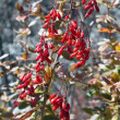 Stock Photo: Barberry in autumn