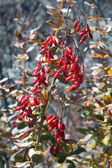 Barberry in autumn — Foto de Stock