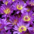 Stock Photo: Violet lotuses