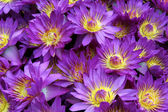 Violet lotuses — Stock Photo