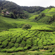 Tea plantation — Stock Photo