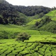House and tea plantation — Stock Photo