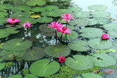 Pink lotuses — Stock Photo