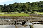 Ryżowe pole — Zdjęcie stockowe