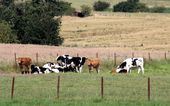 Cows in field — Stock Photo