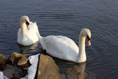 A couple of swans — Stock Photo