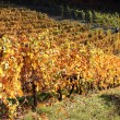The vineyards in autumn — Stock Photo #19380439