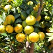 mandarin orange tree — Stock Photo