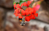 Papillon colibri — Photo