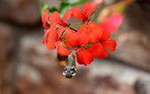 Polilla colibrí — Foto de Stock