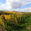 Stock Photo: The vineyards in autumn
