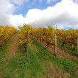 The vineyards in autumn — Stock Photo #35415267