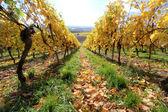 The vineyards in autumn — Stock Photo