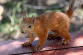 Cute red squirrel — Stock Photo