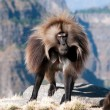 Gelada Baboon — Stock Photo #12589647