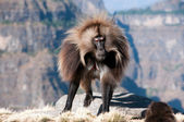 Gelada Baboon — Stock Photo