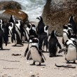 The boulders beach — Stock Photo