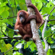 Stock Photo: Orangutan