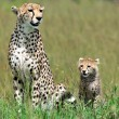 Stock Photo: Cheetah with cub