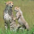 Cheetah with cub  — Stock Photo