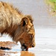 Stock Photo: Male Lion Drinking
