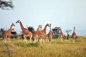 Girafas — Fotografia Stock