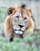 Majestic lion — Stock Photo