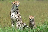 Cheetah with cub — Stockfoto