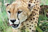 çita — Stok fotoğraf