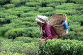 Women picks tea leafs on the famous Darjeeling — Stock Photo