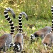 Ring-tailed lemur — Stockfoto #32967439