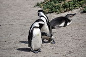 Afrikanische Pinguin am Boulders beach — Stockfoto