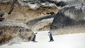 African Penguin on Boulders Beach — ストック写真