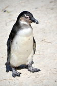 African Penguin on Boulders Beach — Foto Stock