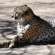 Cheetah — Stock Photo #32970159