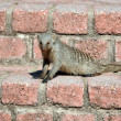 Banded mongoose — Stock Photo #33190901