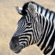 Zebra looking at camera — Stock Photo