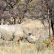 Stockfoto: Black Rhinoceros