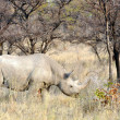 Foto de Stock  : Black Rhinoceros