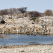 Stock Photo: Zebras at waterhole