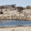 Zebras at waterhole — Stock Photo #33191033