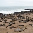 Cape fur seals — Stock Photo