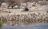 Zebras at the waterhole — Stock Photo