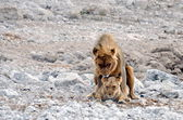 Lion mating — Stock Photo