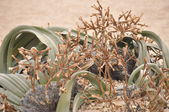 Welwitschia mirabilis — Stock Photo