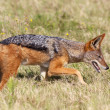 Stock Photo: Black-backed Jackal