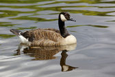 Canada Goose — Stock Photo