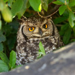 Spotted Eagle Owl Portrait — Stock Photo
